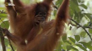 Последний рай орангутанов